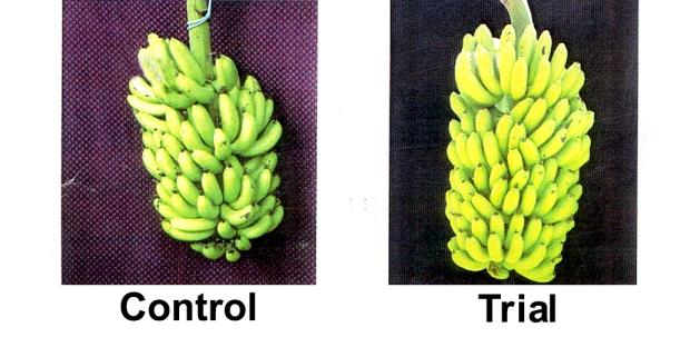 banana-3